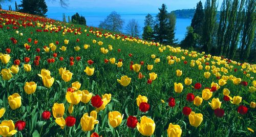 Tulips-bloom-in-may-eg-single-late-double-late-viridiflora-tulips-lily